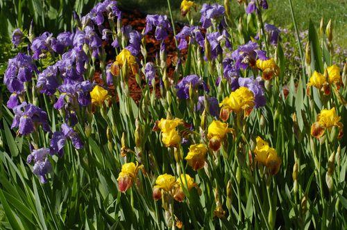 Irismorning 012